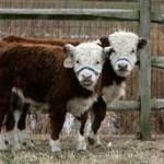 Miniature-Cattle001